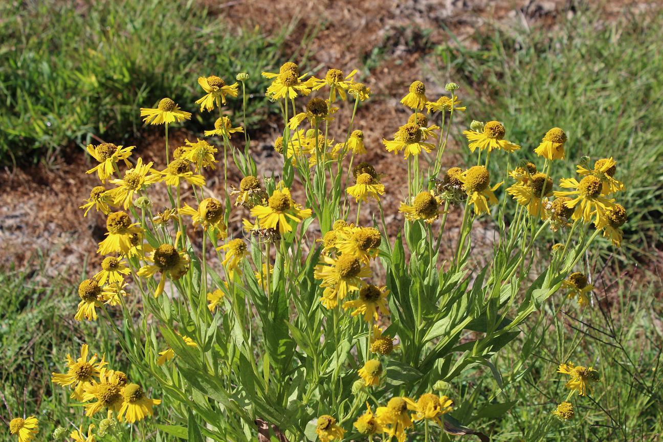 Helenium autumnale Common sneezeweed
